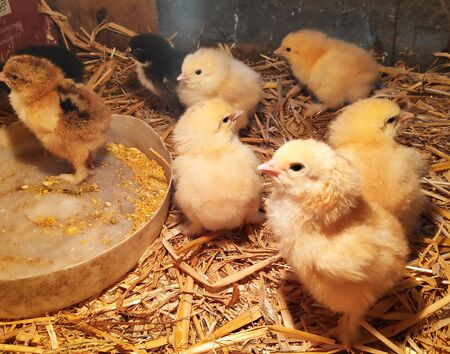 two-day-old, yellow, black Brahma chicken Chicks in a straw box.