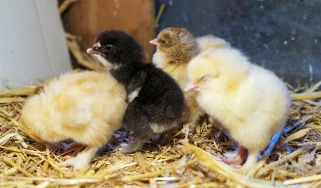 Brams two-day-old chickens in a box of straw, selectiv focus.