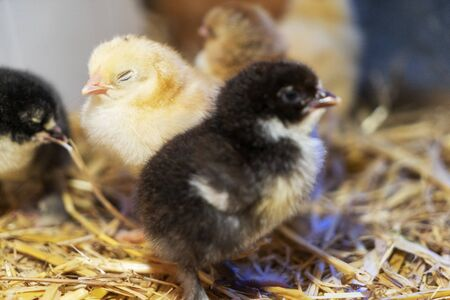 Brams two-day-old chickens in a box of straw, selectiv focus Stok Fotoğraf