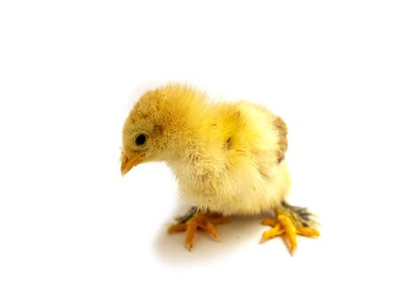 Yellow Brahma chick on white background, selective focus