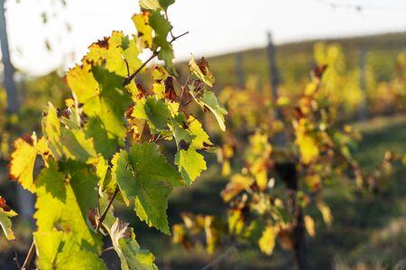 Azerbaijan, Way alongside ripely vine plants in a vineyard in autumn harvest season
