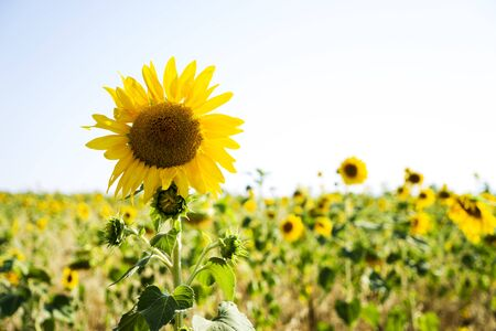 A field of blooming sunflowers. Field of sunflowers in summer in Sunny weather