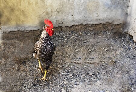 Rooster, chicken with black and white feathers in farm yard Stock fotó