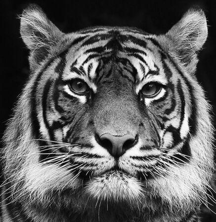Retrato en blanco y negro de un hermoso tigre siberiano con alto contraste Foto de archivo