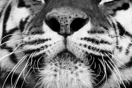 Black and white portrait of a beautiful Siberian tiger with high contrast. Nose and mouth very close