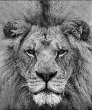 Black and white portrait of a beautiful African lion at close range.