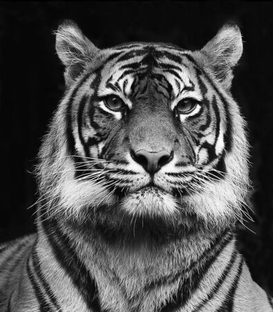 Black and white portrait of a beautiful Siberian tiger with high contrast