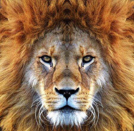 Closeup beautiful portrait of an African Lion