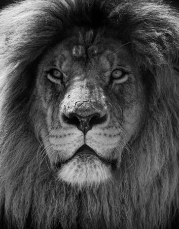 Portrait of beautiful African lionin black and white.