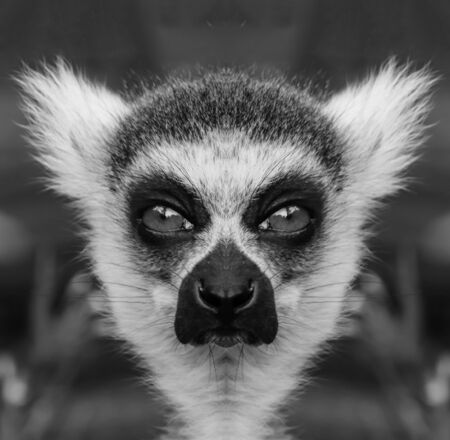 A beautiful black and white portrait of a monkey at close range that looks at the camera. Lemur.