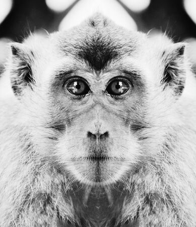 A beautiful black and white portrait of a monkey at close range that looks at the camera.