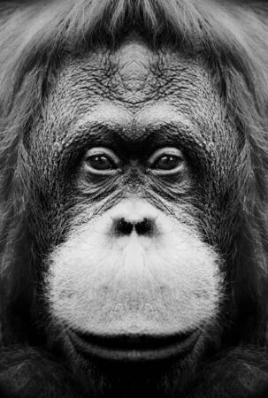 A beautiful black and white portrait of a monkey at close range that looks at the camera. Standard-Bild