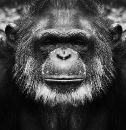 A beautiful black and white portrait of a monkey at close range that looks at the camera. Chimpanzee