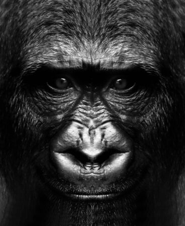 black and white portrait of a gorilla monkey close up.