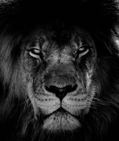 Portrait of beautiful African lionin black and white. Imagens - 150235828