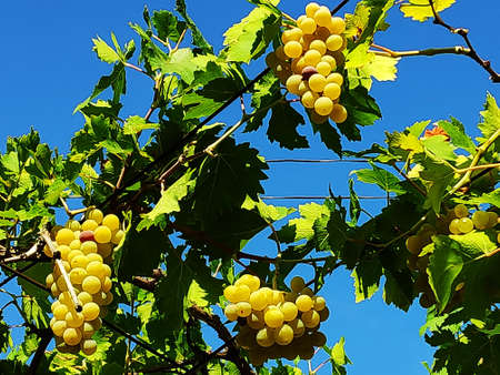 Fresh white golden grape berries hanging on a grapevine with geen leaves and blue sky