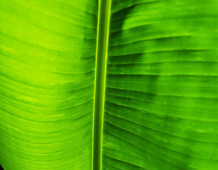 Green Leaf Texture background with light behind.