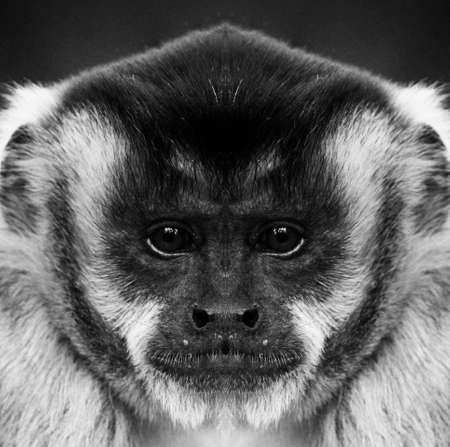 A beautiful black and white portrait of a monkey at close range that looks at the camera