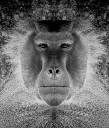 A beautiful black and white portrait of a monkey at close range that looks at the camera, baboon. Zdjęcie Seryjne
