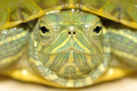 centenarian: Close up tortoise from front. (selective focus and shallow depth of field, DOF)