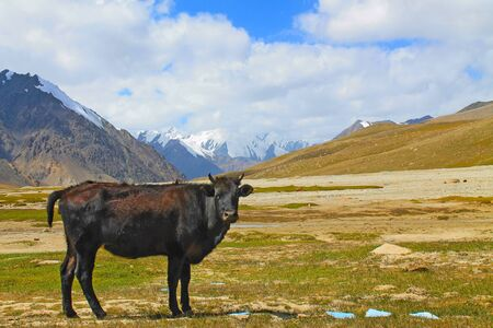 Black Cow in China Pakistan Border Landscape Karakoram Mountains View