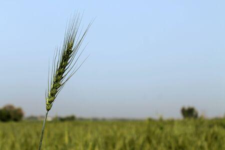 Green Wheat field background Фото со стока