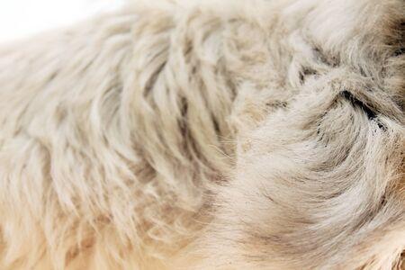 White Goat Wool Closeup View Фото со стока