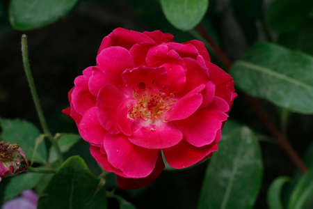 Closeup of a red garden rose in a field at daytime with a blurry background