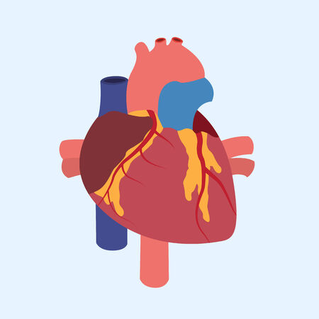 coronary artery: Picture of a human heart anatomy, flat style illustration Illustration