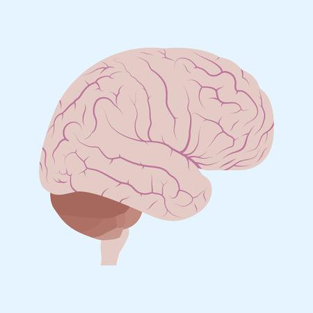 talamo: imagen de un cerebro humano, estilo de ilustraci�n plana Vectores