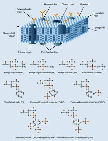 membrane cellulaire: image de la structure de la membrane cellulaire de phospholipides �galement des formules