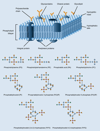 glycoprotein: picture of cell membrane structure with also phospholipides formulas
