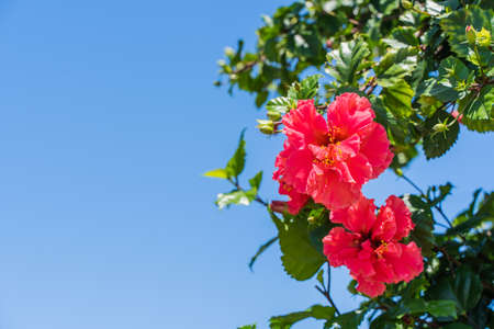 Red flowers of Chinese rose on bright summer day with clear blue sky on background and copy space. Species name - Hibiscus rosa-sinensis  L. Close-up stock photo.