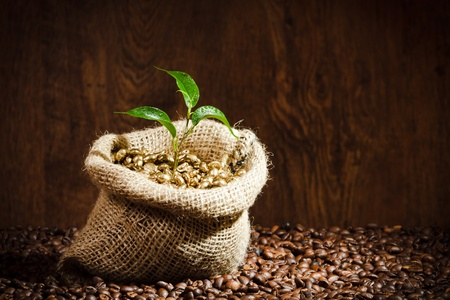 Golden coffee seed on burlap coffee sack with small plant