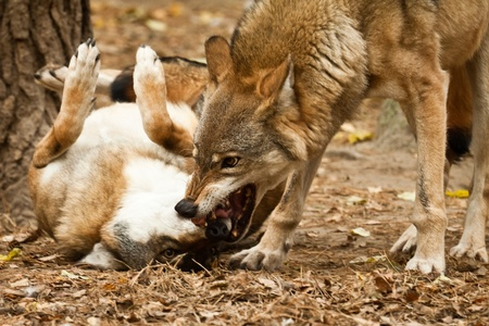perro furioso: Lobo lucha