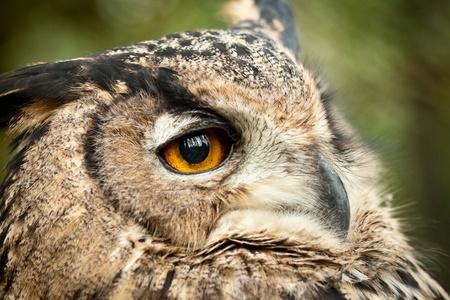dusky: dusky eagle owl
