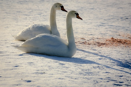 Two swan sitting on snow at sunset photo