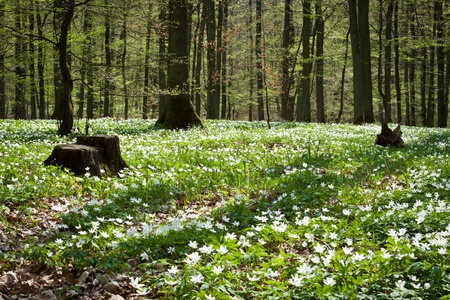 buttercup flower: Springer white flowers in forest