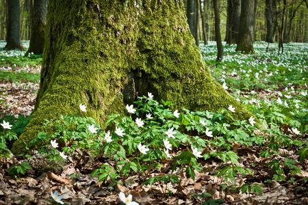 Mossy old tree and windflower in forest Stock Photo - 9402284