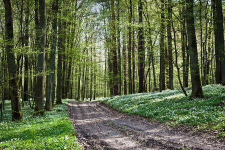 Path in forest with windflower photo