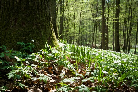Mossy old tree and windflower in forest photo