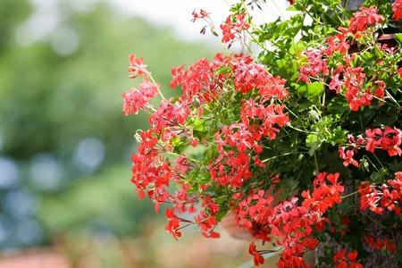 Geranium flower hanging in garden Stock Photo - 9884415