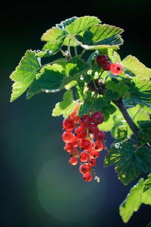 redcurrant: Redcurrant in summer garden