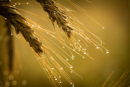 dewdrop: Golden field with dewdrop at sunrise Stock Photo