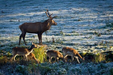 Herd of elk and deer looking at the sunrise on the frozen meadow photo