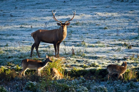 Deer and herd of elk looking at the sunrise on the frozen meadow photo