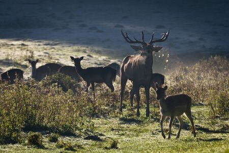Deer with herd roaring on the meadow at sunrise Stock Photo - 10961167