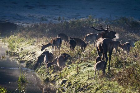 Roaring deer with herd standing near the river on the meadow at sunrise photo