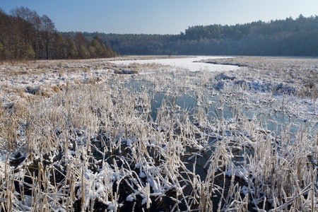 Frozen reeds in the lake at winter photo