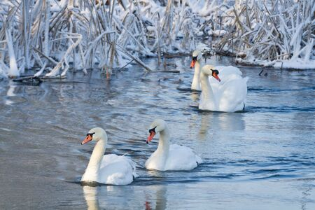 White swans in the river at winter photo